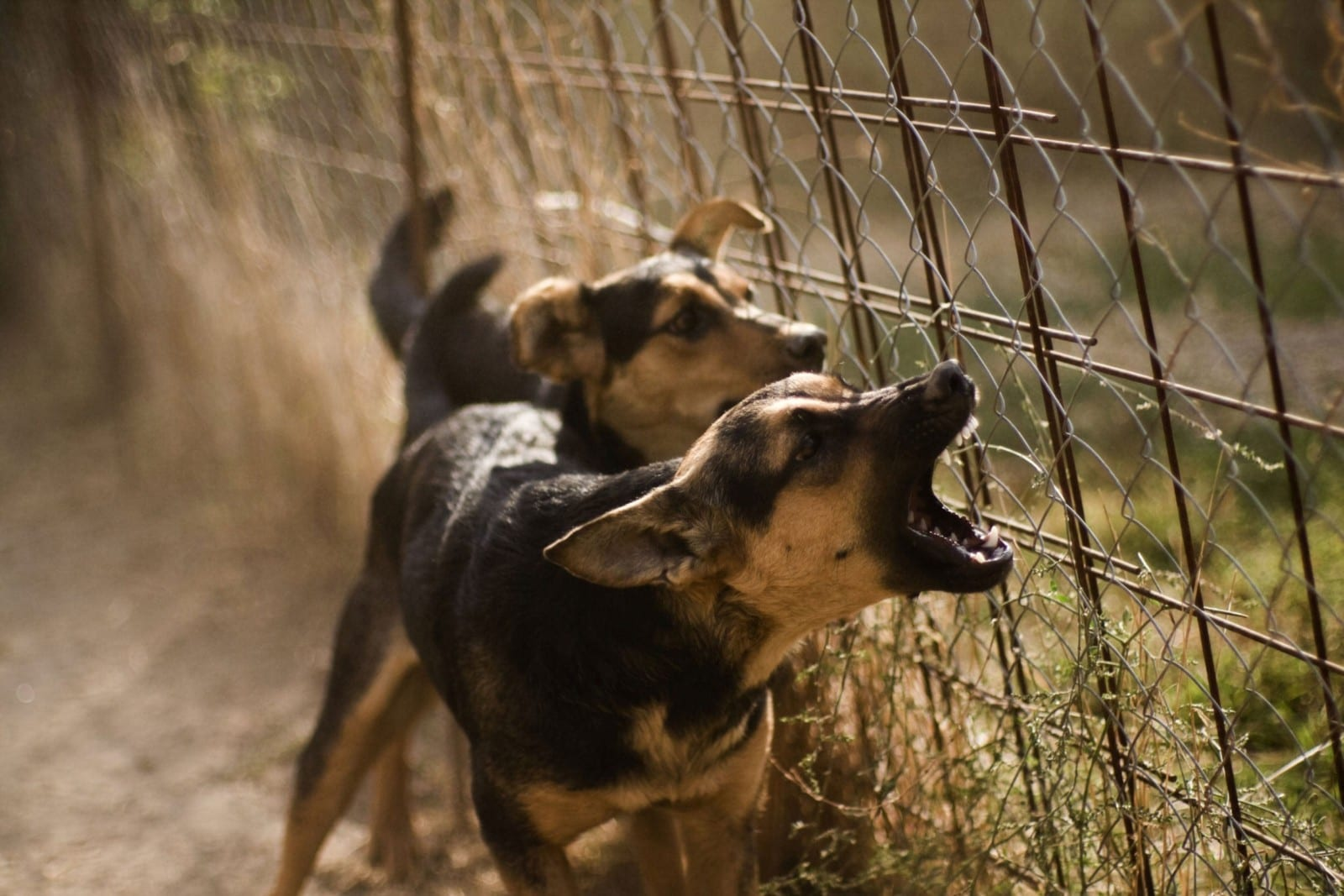 Two Barking Dogs Stock Photo
